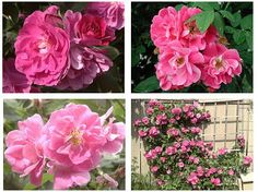 John Cabot - sustainable climbing rose suitable to zone 3