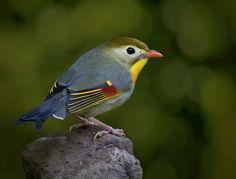 Japanese Nightingale by Alida Jorissen, via 500px