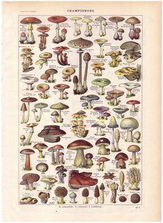 1922 MUSHROOMS French Dictionary Illustration.