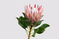 Photo about Red protea flower on black background with copy space for text. Image of protea, head, exotic - 124035702 Flower Backgrounds, Black Backgrounds, King Protea, Protea Flower, Floral Illustrations, Image King, Exotic, Stock Photos, Wall Art