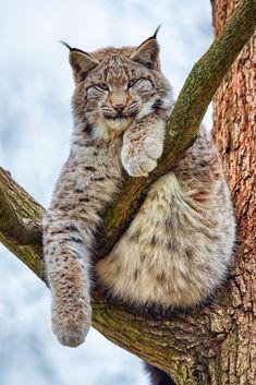 Russian Blue Cats Luchs - amazing … when animals attack . Rare Animals, Animals And Pets, Funny Animals, Wild Animals, Strange Animals, Beautiful Cats, Animals Beautiful, Lynx Du Canada, Gato Grande