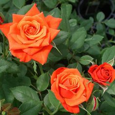 The coppery-orange color on these blooms barely looks real! They're set beautifully against the semi-glossy, dark green, disease-resistant foliage, for a dazzling display. Var: SAVaden  (PP#9,435) Own root.