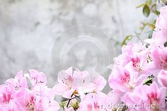 Pink azalea with wall background