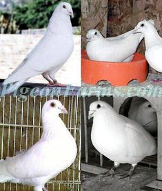 Stromberg's Chicks and Game Birds | Animals - Homing Pigeons