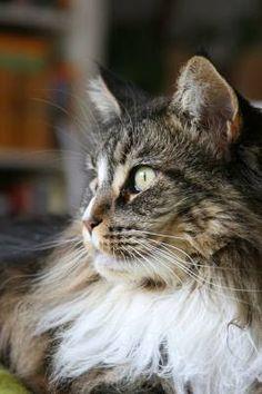 Maine Coon cat Daisy