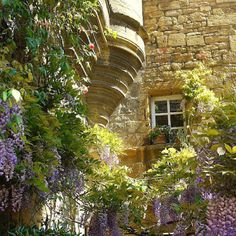 wisteria in bloom, Dordogne France   ourfrenchgarden.blogspot