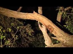 Watch How a Leopard Reacts When It Finds Out Its Prey Has a Newborn