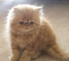 Made the mistake of seeing a persian cat/kittens in person and now I'm obsessed