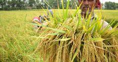 নতুন ধানের স্বপ্নে আনন্দের পরিবর্তে বিষাদে ছেয়ে আছে কৃষকের মুখ | DoinikBarta (দৈনিকবার্তা)