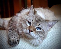 Edwin Nord Grace of Aurora Glow Siberian Cat, Aurora, Glow, Cats, Animals, Gatos, Animales, Animaux, Northern Lights