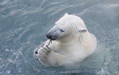 POLAR BEAR (IJsbeer)