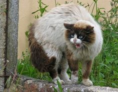 howling cat