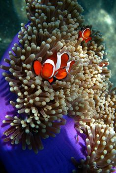 *Clownfish (by robferblue)