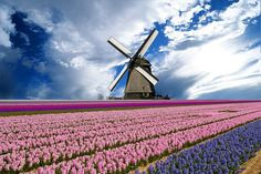 windmill and cultivated flowers near haarlem, the netherlands