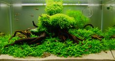 ... Takashi Amano Aquascaping report which is grouped within Other Interior Design, takashi amano aquarium aquascaping, freshwater aquascaping designs, ...
