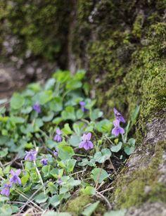violet elixir - immortalizing spring from dandelion revolution