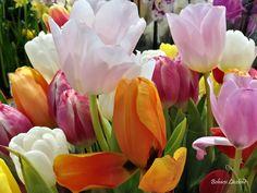 Colorful tulips by Bohacsi Laszlone