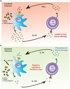 Modulation of pro-inflammatory and regulatory NK cell responses. DCs infected with intracellular bacteria produce IL-12. (A) In localized infections, NKs respond to IL-12, producing IFN-γ, which ++ the DC IL-12 response, creating an unregulated feedback loop. The pathogen is killed (with tissue damage). (B) In systemic infection, differences in the environmental accessory cells (concentration of IL-12?) lead to NK production of IL-10: limits the damage but may also allow the infection to…