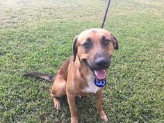 """HOUSTON - TX - 11/24/16 - """"RUSTY"""" - TO BE DESTROYED - PLEASE SAVE THIS BOY! A472187 - PetHarbor.com: Animal Shelter adopt a pet; dogs, cats, puppies, kittens! Humane Society, SPCA. Lost & Found."""