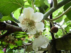 kiwifruit flower