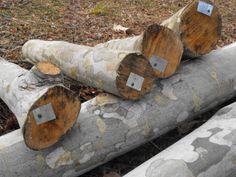 Growing mushrooms on logs