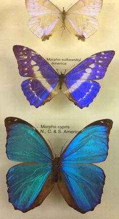 Butterflies Tring Museum 19/2/14