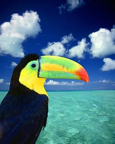 Toucan. Even though they're beautiful, these birds can be quite greedy and fierce. Protect your food!