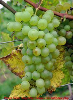 Smederevka grape variety