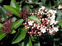 Viburnum tinus sandankwa viburnum evergreen shrub pink buds white flowers bloomes November to spring