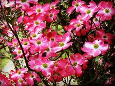 Pink Dogwood - Lucky to have this tree in California Etsy Shop SmartBlondes Handmade@Amazon/ Shop Smart Blondes