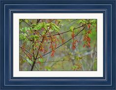 rd Erickson Framed Print featuring the photograph Spring Maple Seeds by rd Erickson