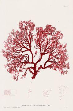 Henry Bradbury Antique Nature-Printed Seaweed Prints 1859