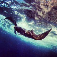 Manta Ray in Bali #bali #diving #padi