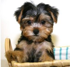Yorkie and Shih Tzu mix is a Shorkie, so cute! Puppy