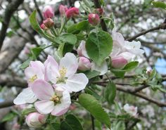 Kép forrása: http://www.coldclimategardening.com/wp-content/apple_blossoms.jpg.