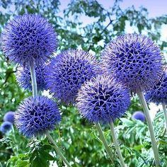 40+ Blue Globe Thistle Flower Seeds , Under The Sun Seeds