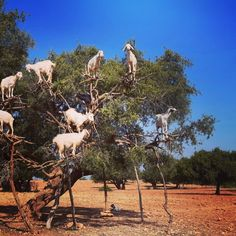 Moroccan goats love climbing Argan Trees for their nutritious fruit. Hang in there, everyone—it's almost Friday!