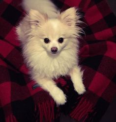 Thank you Faribault Woollen Mill Co. Loki and I are cuddling in our new Buffalo Plaid Throw Blanket!