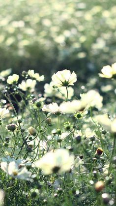 Nature Pure cosmos Flowers #iPhone #6 #plus #Wallpaper