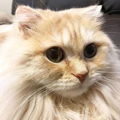 2016.12.20. * おはようニャン🐱 * #スコティッシュフォールド#猫#ネコ#ねこ#折れ耳#ロングコート#ロングヘアー#りおん#にゃんこ#もふもふ#ふわもこ部#にゃんすたぐらむ#ねこ部#愛猫#kitten #catsagram #catsofinstagram #animal#animals#catlover#ScottishFold#cute#ilovemycat#catlover#meow#followalways#followme#follow#pretty