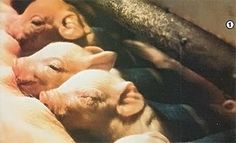 If you've cared for weaned piglets and want to take the next step in swine herding, the author has a lot of advice on how to breed pigs.
