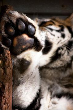 Siberian Tiger Paw by (Hunterfox)