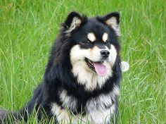 Welcome to TabanyaRuu, breeding Finnish Lapphunds since Two Dogs, Alaskan Malamute, Squishies, Samoyed, Love Pet, Cuddles, Dog Breeds, Dogs And Puppies, Dog Cat