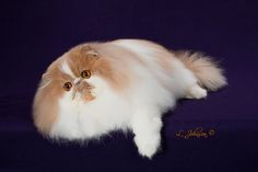 World's Largest Registry of Pedigreed Cats Cute Cats And Kittens, Cool Cats, Animals Beautiful, Cute Animals, Huber Heights, Best Cat Breeds, Himalayan Cat, Exotic Cats, Exotic Shorthair