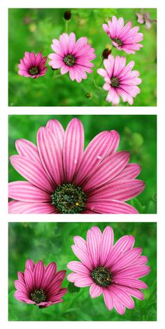 Pink Cape Daisy Triptych by Alyson Fennell on 500px
