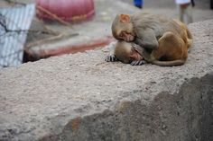 All you need is love / Monkey Temple Galwar Bagh / Jaipur / Rajahstan / India