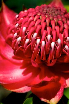 """Blood-red Waratah"" by Renee Hubbard Fine Art Photography 