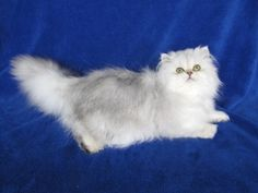 Dolce Vita - Shaded Silver Doll Faced Persian