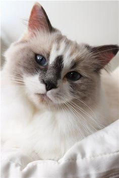 Ten Great Cat Breeds for Kids I Love Cats, Crazy Cats, Cool Cats, Animals And Pets, Baby Animals, Cute Animals, Kittens Cutest, Cats And Kittens, Sweet Cat