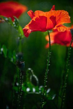 Red Summer by adrianbilescu